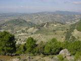 sea-of-olives-camino-mozarabe-caminoways