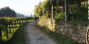 vines-autumn-camino-de-santiago-trail-camino-portugues
