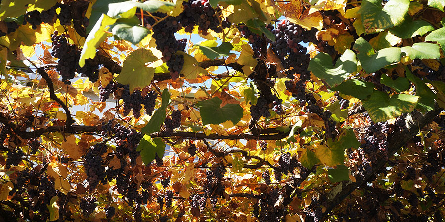 vines-autumn-camino-de-santiago-camino-portugues