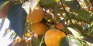 Peach-trees-lucca-to-siena-cycle-FrancigenaWays