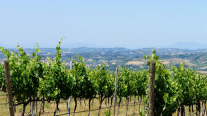 Vineyards-Chianti-Tuscany-Via-Francigena-Francigena-ways