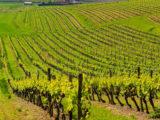 Vinyards-Champagne-section5-francigenaways