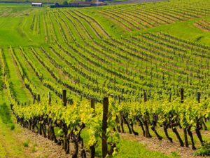 Vinyards-Champagne-section5-francigenaways