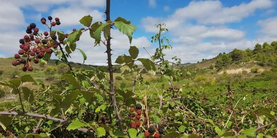 Blackberries-on-camino-frances-caminoways.com