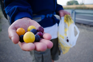 foraging-berries-the-caminoways