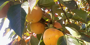 Peach-trees-lucca-to-siena-cycle-FrancigenaWays