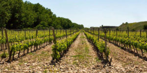 albarino-grape-galicia-spanish-vineyards-caminoways