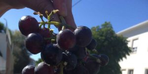 tasting-grapes-in-portugal-camino-ways