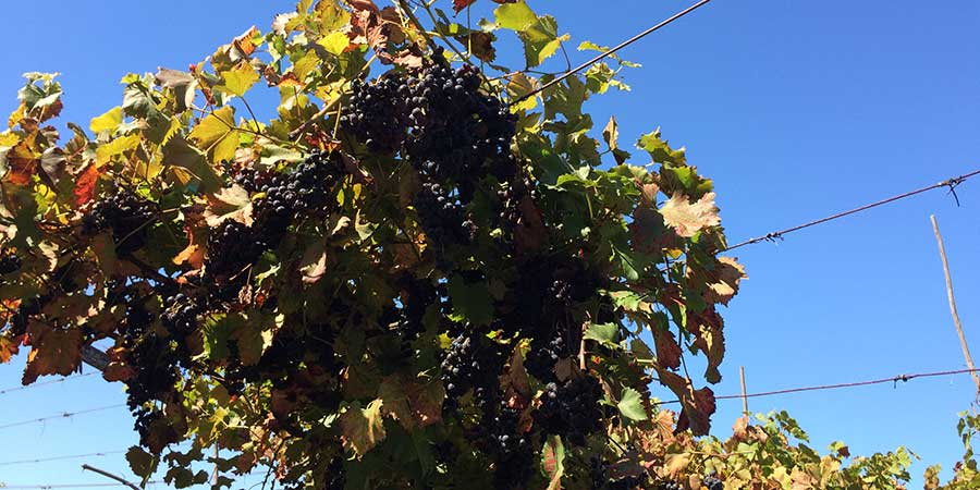 grapes-on-vines-camino-portugues-caminoways