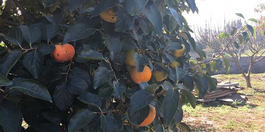 oranges-nectarines-camino-portugues-coastal-camino-fruit